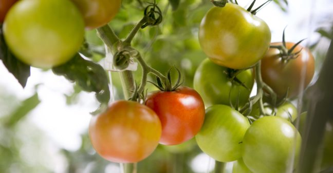 BVB Substrates tomatenplant leafy greens and vegetables