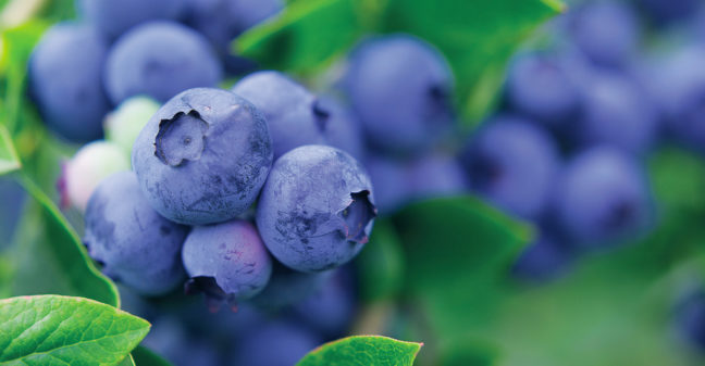 Blueberries in BVB Substrates soil