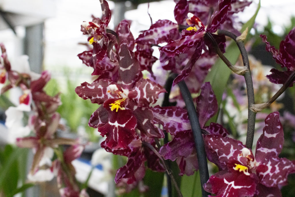Types of Orchids at orchid grower Inca Orchids