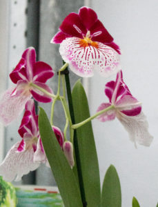 Special type of orchid at orchid grower Inca Orchids