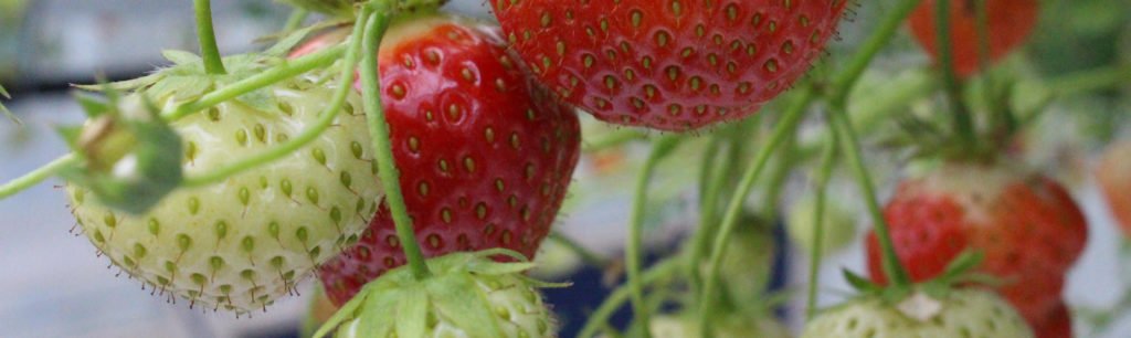 Strawberry fruits on plant