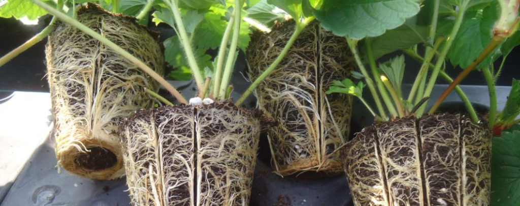 Plant roots during tests to determine the right substrate to fight phytophthora.