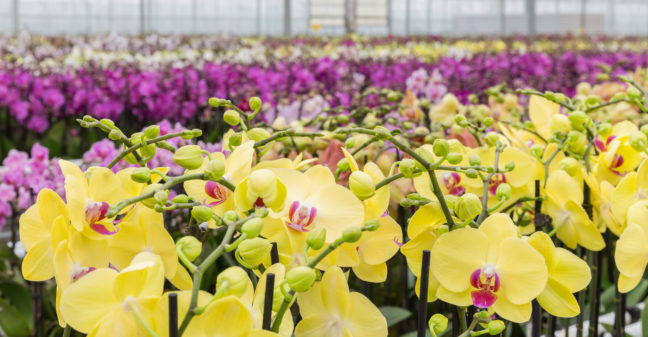 Orchids Phalaenopsis in greenhouse