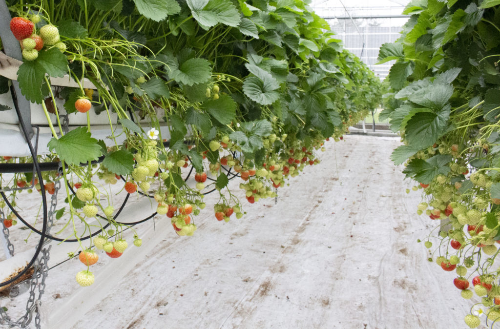 Strawberry plants in growing media