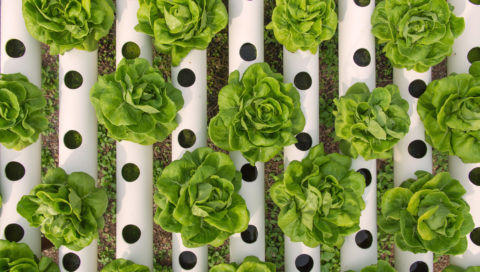 Hydroponic Lettuce growing systems