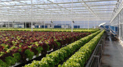 Lettuce in atomated systems