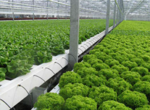 Lettuce growing in automated processess NFT