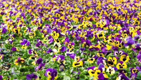 bedding plants and perennials