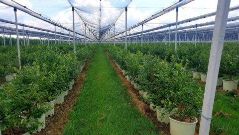 Berry Blue blueberry growing site Reference story by BVB Substrates