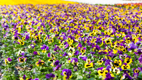 Bedding plants in mixture with BVB Wood Fiber