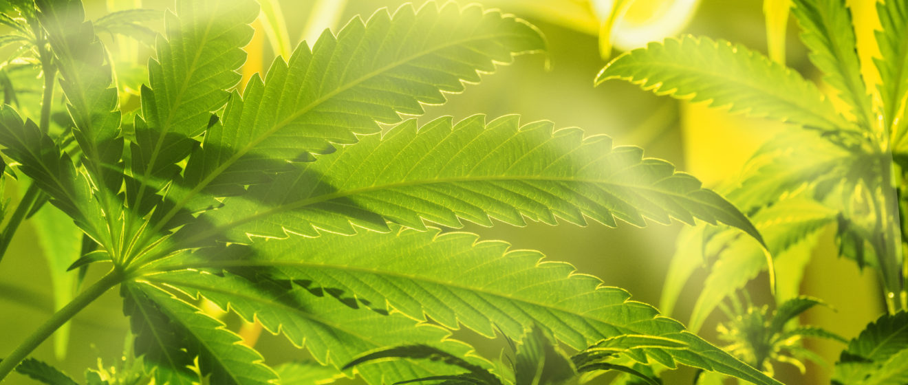 Safe substrate cannabis
