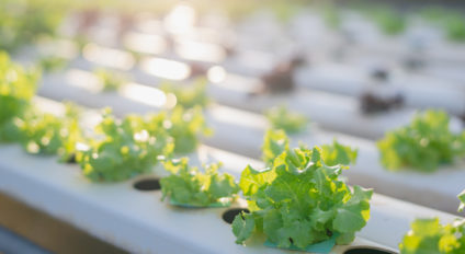 Lettuce growing media