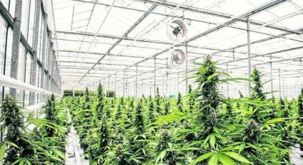 Medicinal cannabis in greenhouse