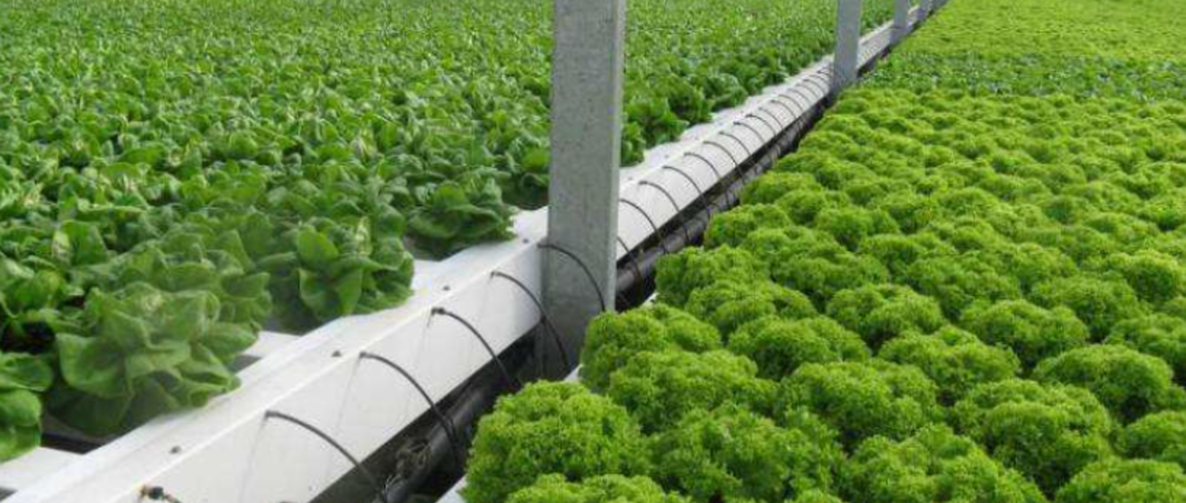 Lettuce in automated process greenhouse